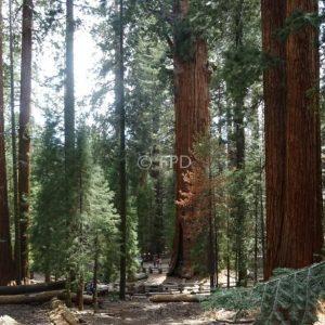 generalsherman-sequoias-california-peq